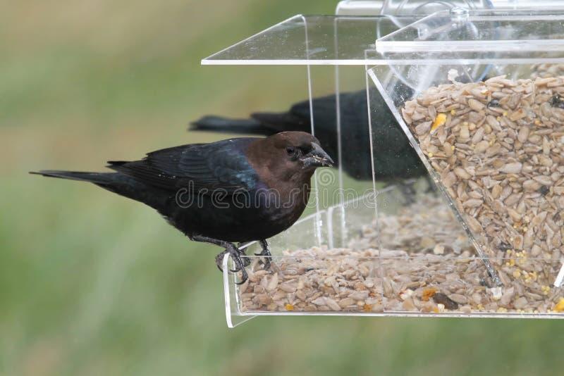 Cowbird maschio su un alimentatore immagini stock