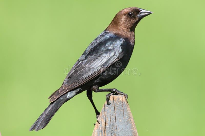Cowbird maschio su una perchia fotografia stock