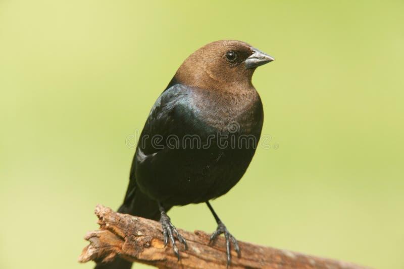 Cowbird maschio su una pertica immagine stock libera da diritti