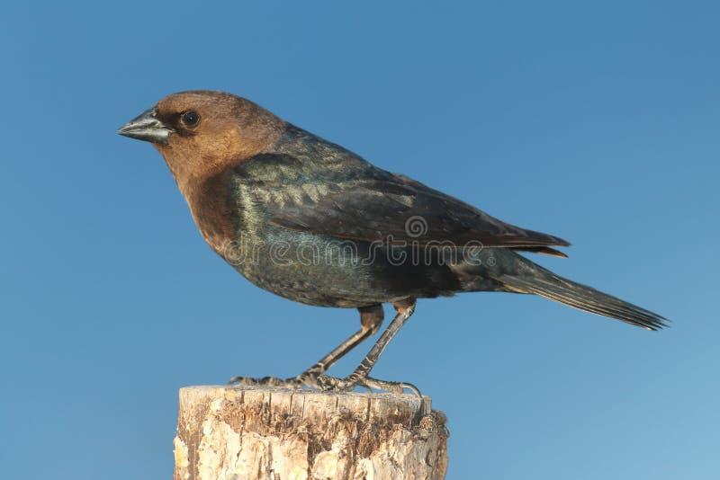 Cowbird maschio su una pertica fotografia stock
