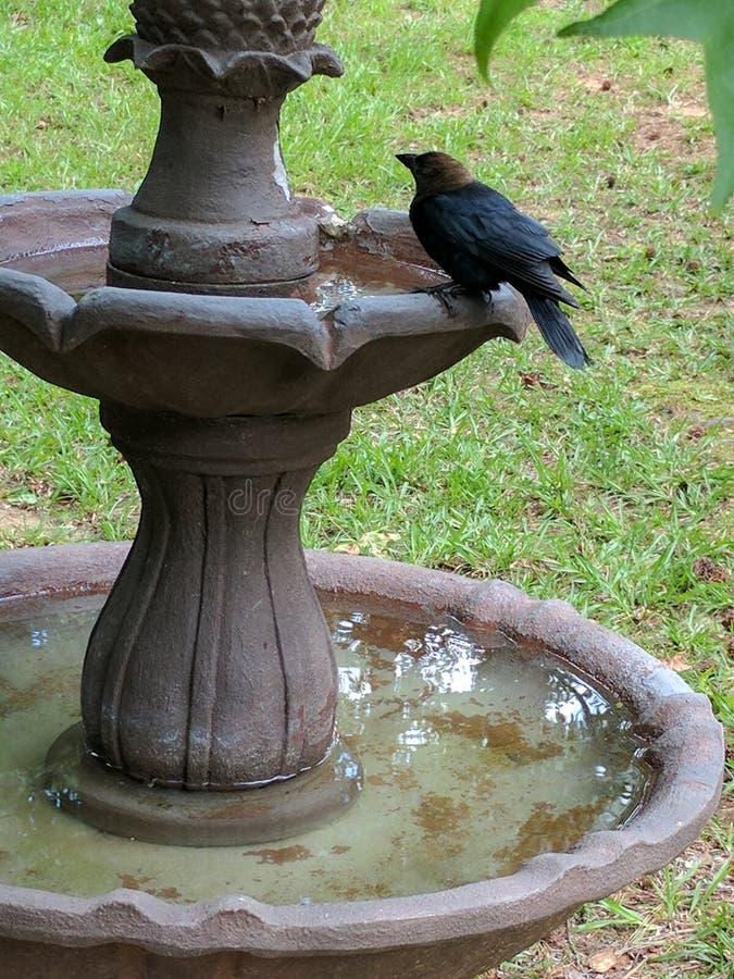 Cowbird sur la vasque image stock