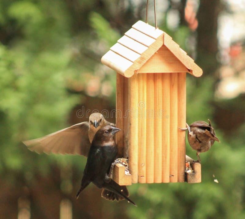 Cowbirds malpropres photo libre de droits