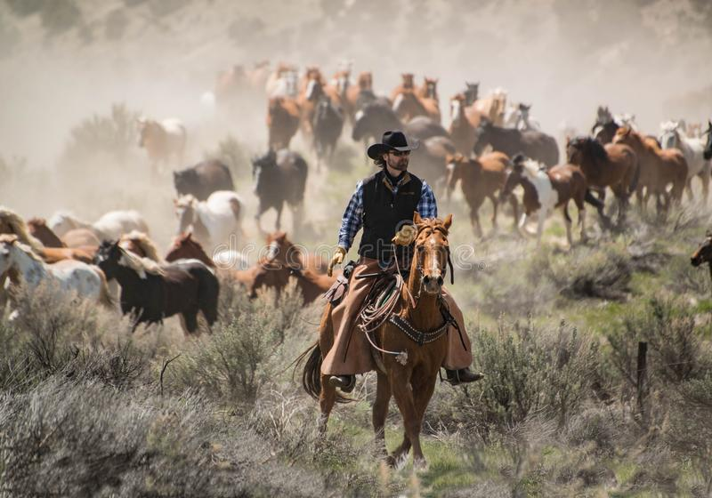 Cowboy with black hat and sorrel horse leading horse herd at a gallop stock images