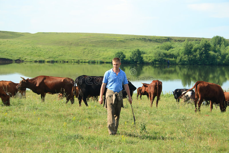 Cowboy with cows stock photo
