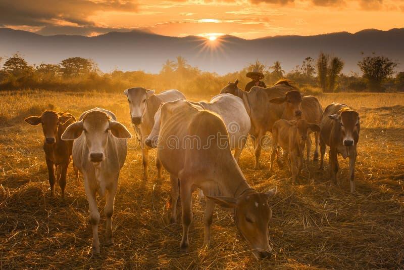 Cowboy de coucher du soleil image libre de droits