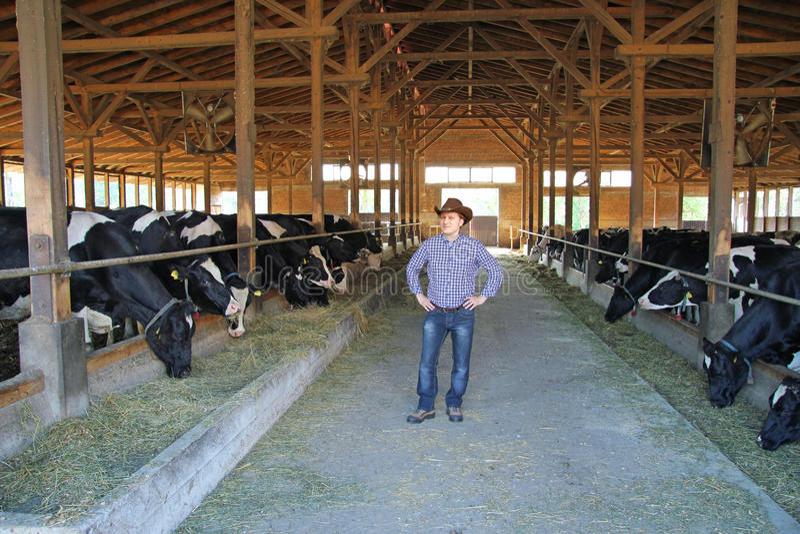 Cowboy e vacas, cultivando imagens de stock