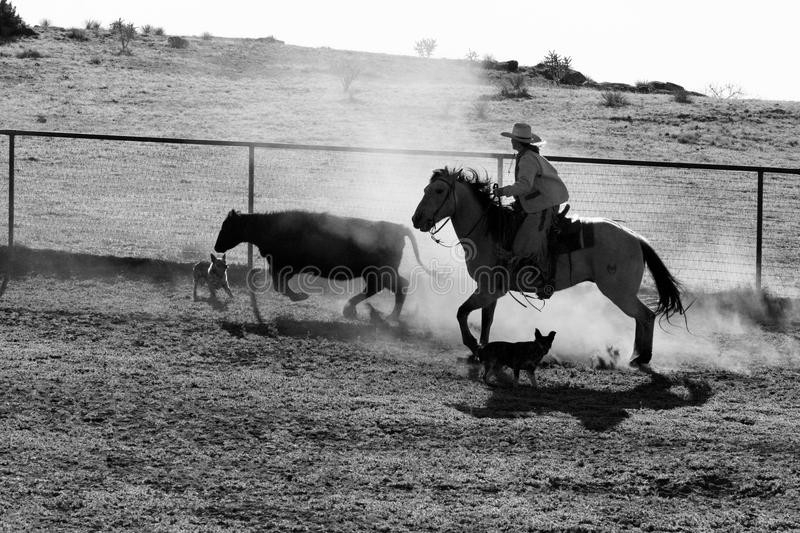 Cowboy Life Stock Photo Image Of Riding Work Beef
