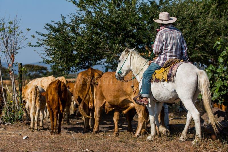 Cowboy mit Vieh stockfotos