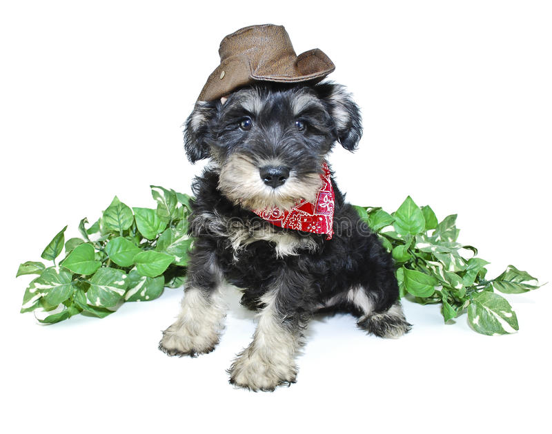 Cowboy Puppy royalty free stock photos