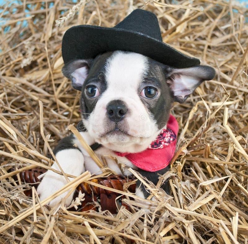 Cowboy Puppy royalty free stock photo