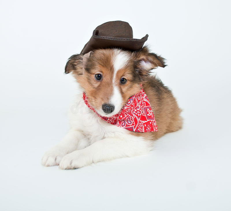 Cowboy Puppy royalty free stock image