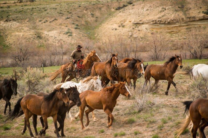 Cowboy som grälar upp flocken av hästar i roundup arkivfoto