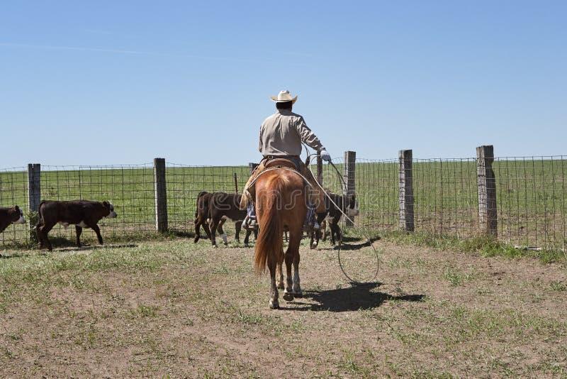 Cowboy sur le cheval vivant en troupe des bétail avec la corde de lasso photographie stock