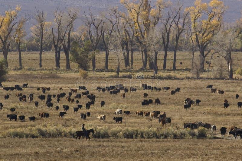Cowboy und Vieh stockbild