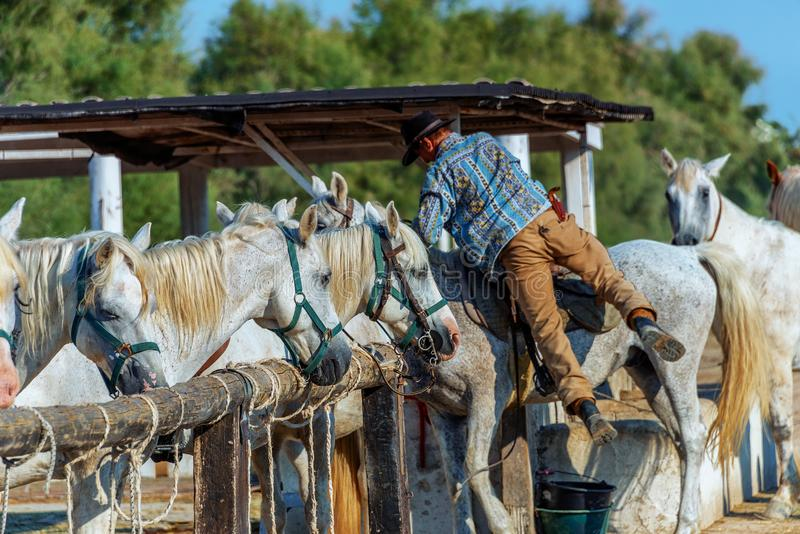 Cowboy White horse from Camargue royalty free stock photos