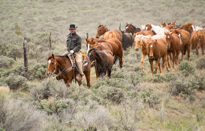 Cowboy wrangler with black hat and sorrel horse leading herd of horses across sagebrush prairie, Craig, CO stock photo