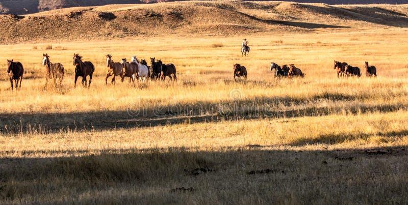 Cowboy Wrangling en flock av hästar royaltyfria foton