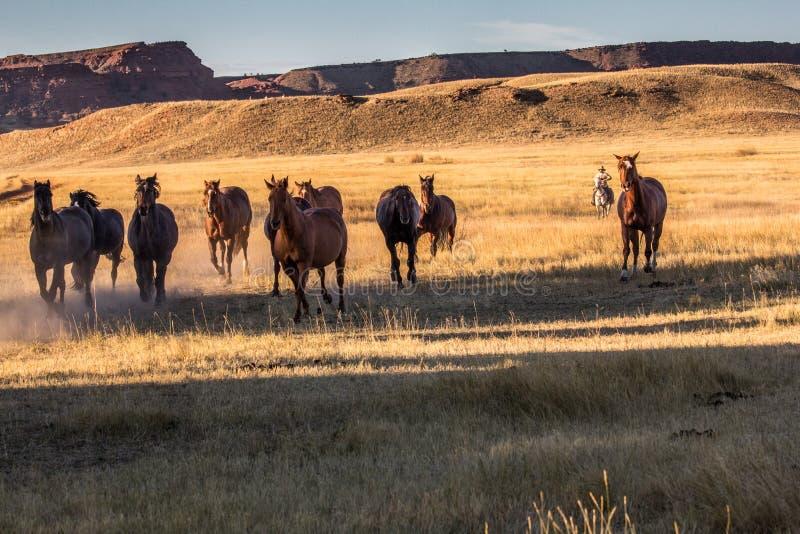 Cowboy Wrangling en flock av hästar arkivfoton