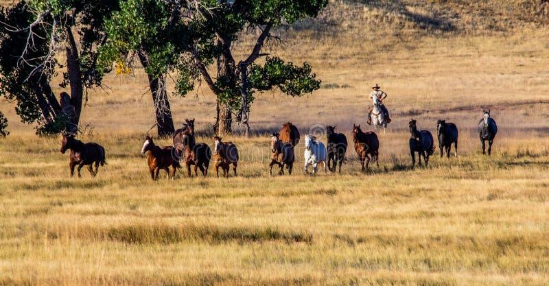 Cowboy Wrangling en flock av hästar royaltyfri fotografi