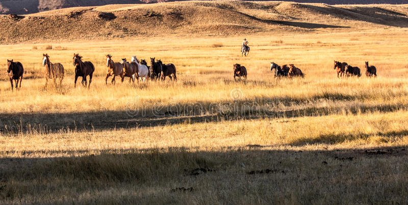 Cowboy Wrangling a Herd of Horses royalty free stock photos