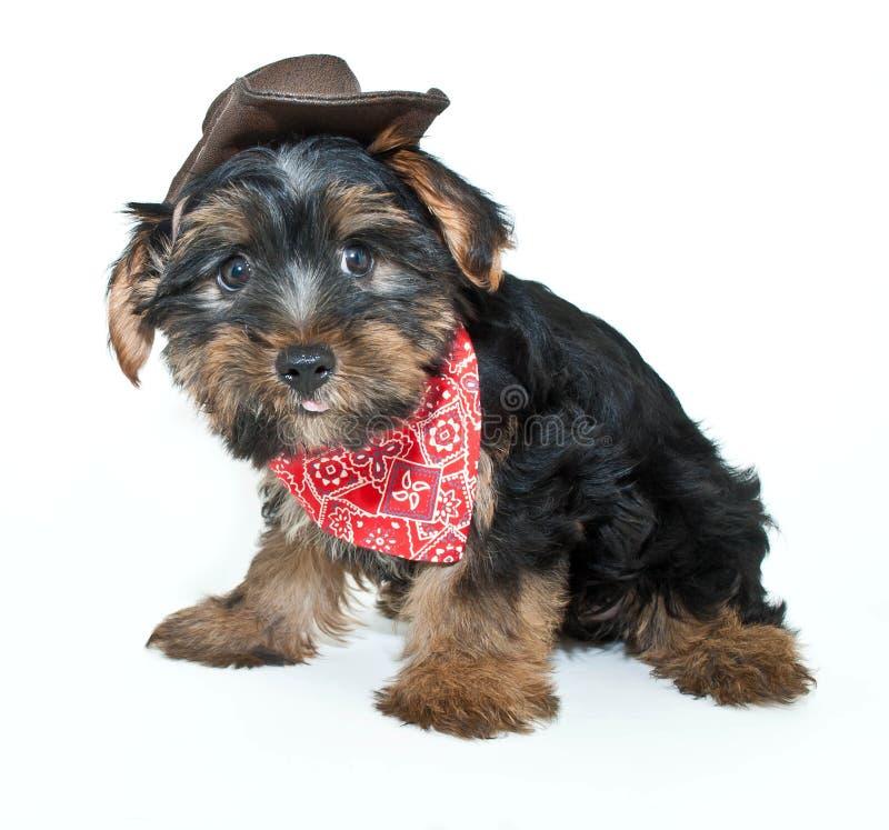 Cowboy Yorkie Puppy stock image