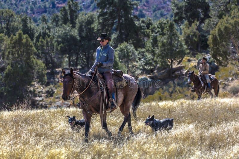 Cowboyer på nötkreatur kör korskor för hopsamlingen Angus/Hereford och cal arkivbild