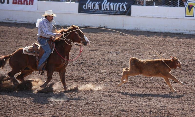 Cowboyhorseback roping kalf royalty-vrije stock afbeeldingen
