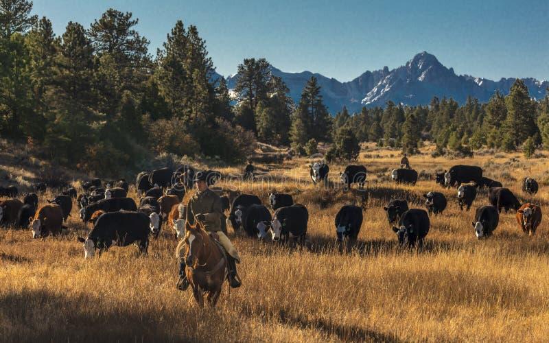 Cowboys auf Vieh fahren Querkühe der Versammlung Angus/Hereford und cal lizenzfreie stockfotografie