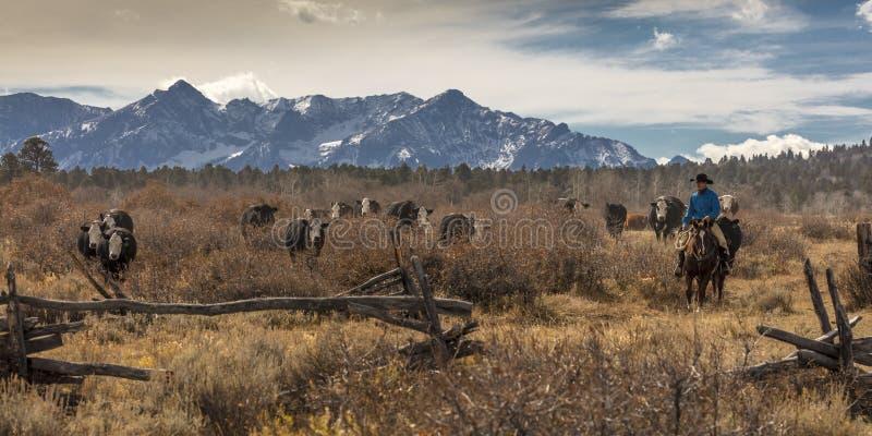 Cowboys auf Vieh fahren Querkühe der Versammlung Angus/Hereford und cal lizenzfreie stockbilder