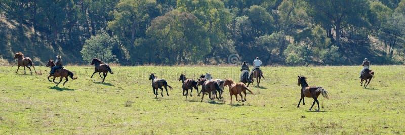 Cowboys die Wild paarden achtervolgen stock afbeeldingen