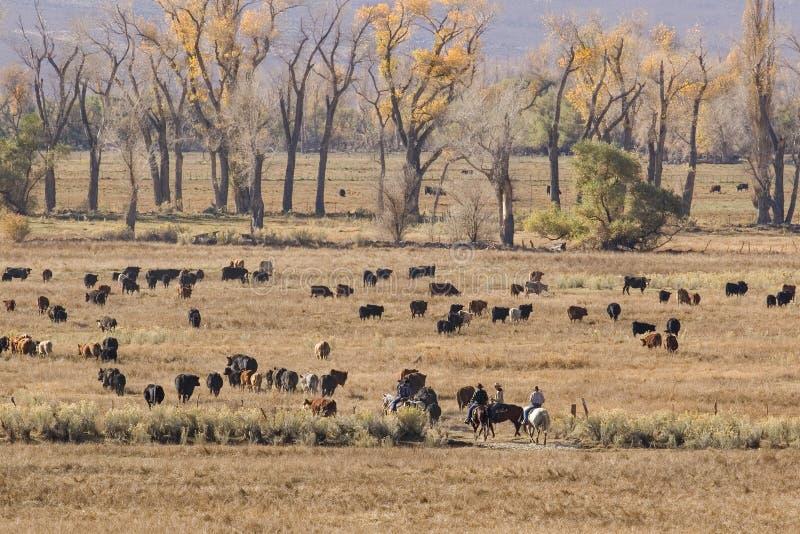 Cowboys en vee royalty-vrije stock afbeeldingen