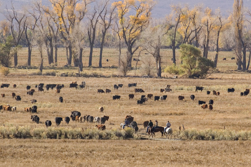 Cowboys et bétail images libres de droits