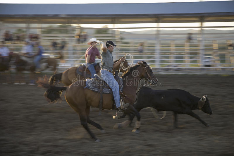 Cowboys Lassoing Cow Editorial Image