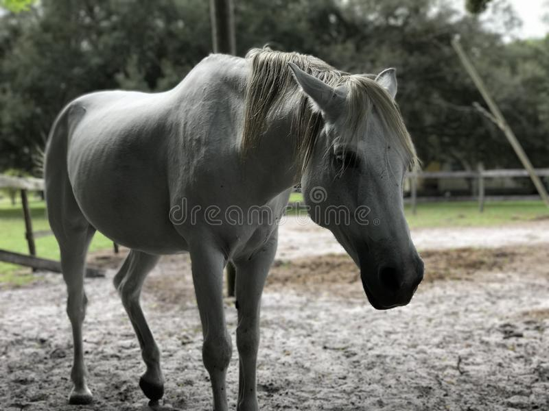 Cowering horse. Arabian cross horse head down animals horses gray stock image