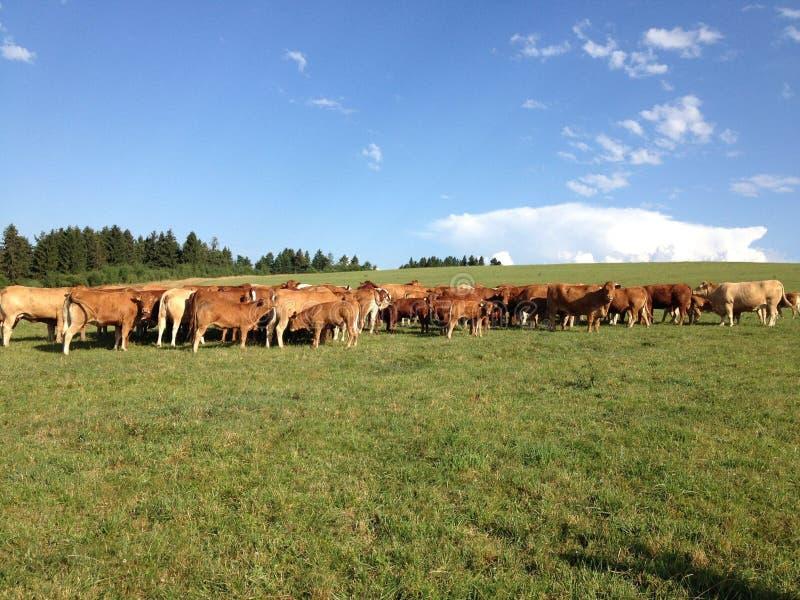 Cowfarm ziemia obraz royalty free