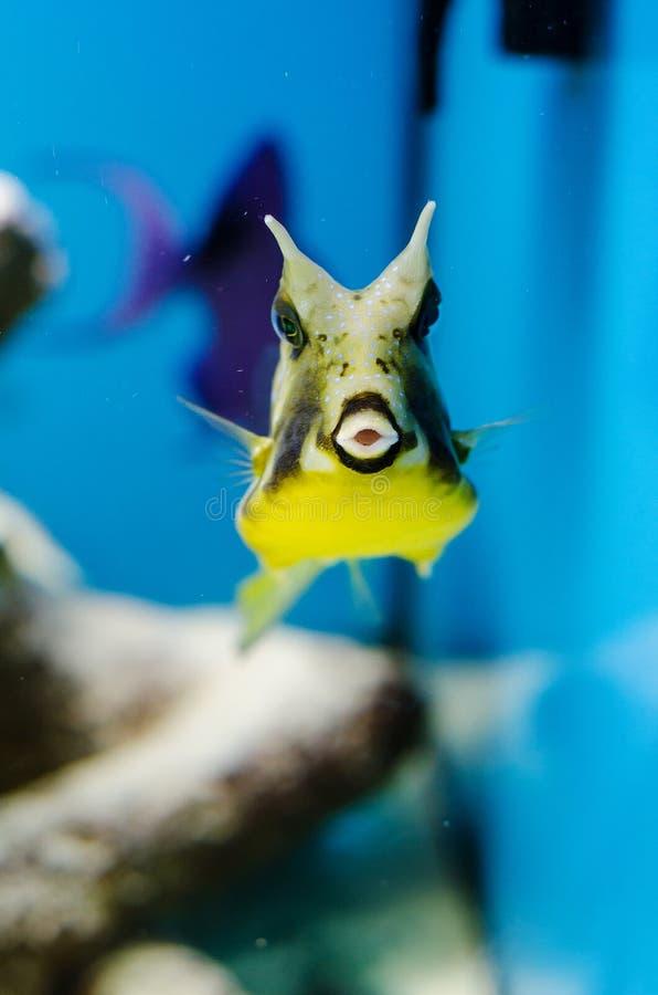Cowfish лонгхорна стоковая фотография