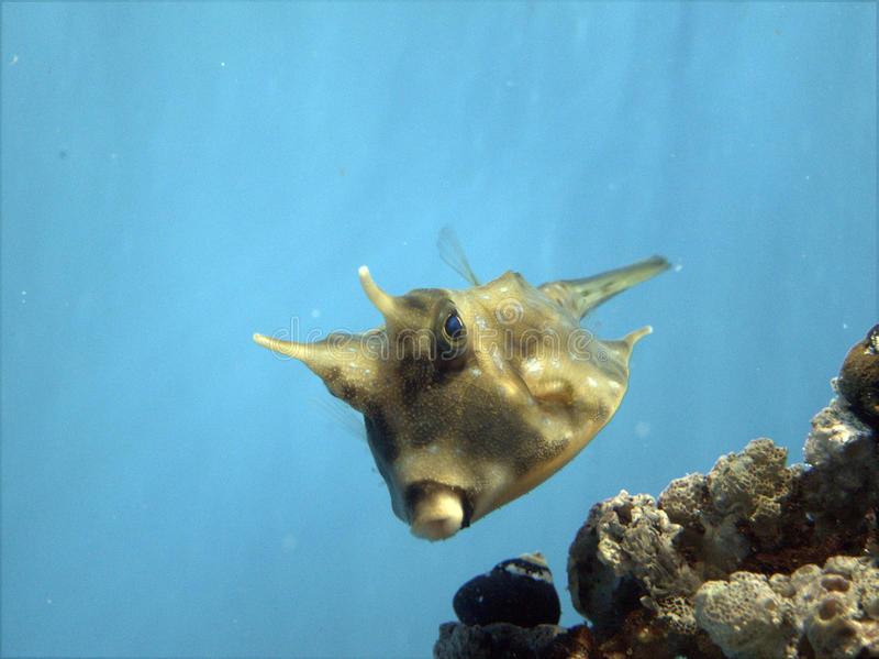 cowfish στοκ εικόνα με δικαίωμα ελεύθερης χρήσης