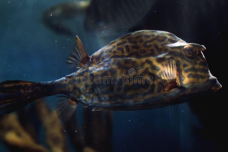 Cowfish of the Caribbean image libre de droits