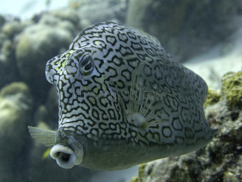Cowfish royalty free stock photography