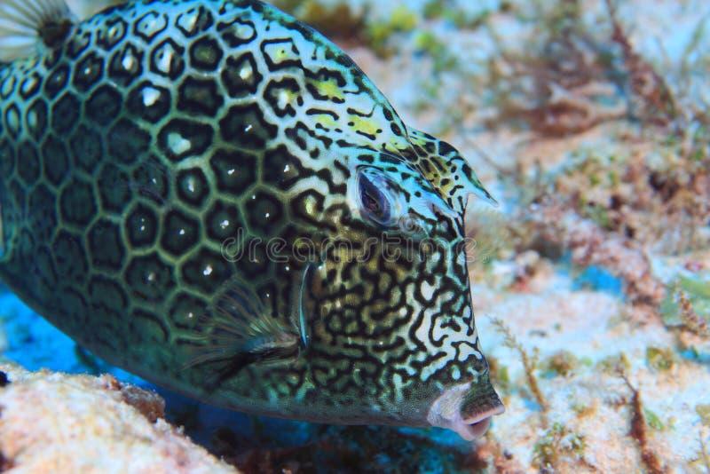 Cowfish del panal foto de archivo