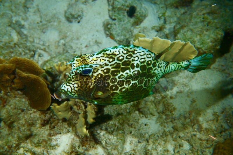 Cowfish del panal foto de archivo libre de regalías