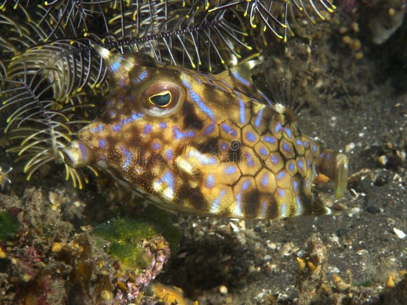 Cowfish Thornback рыб коралла стоковые изображения