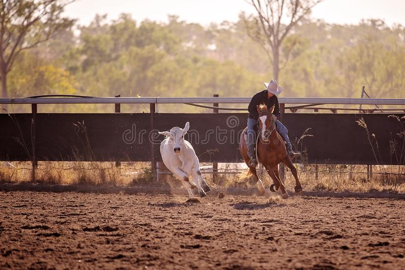 Cowgirl Herding A Calf In Campdraft Rodeo Event. Cowgirl riding in campdrafting event at a country rodeo. Campdrafting is a unique Australian sport involving a stock photography