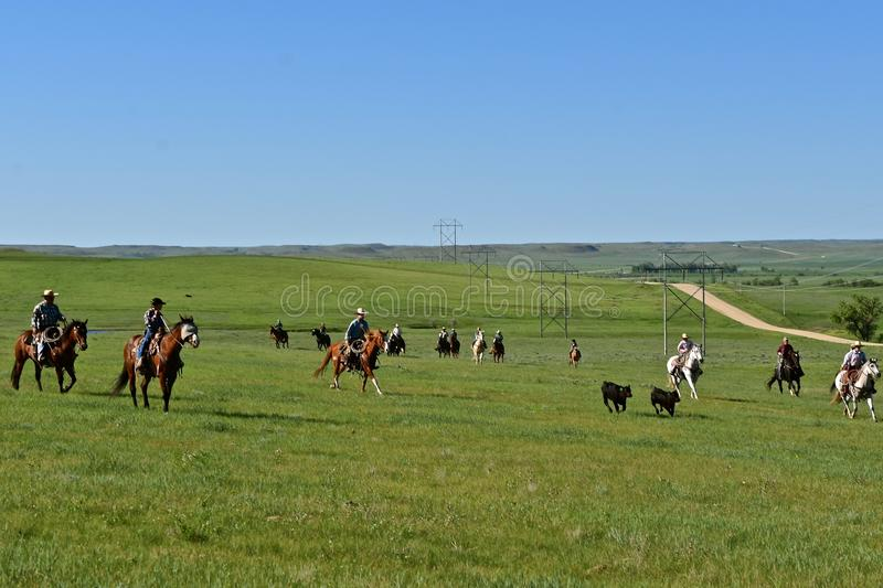 Cowgirl lassoing a calf during a roundup. MUD BUTTE, SOUTH DAKOTA, May 23, 2018: The annual roundup and branding of cattle brings the area cowboys and cowgirl royalty free stock photos