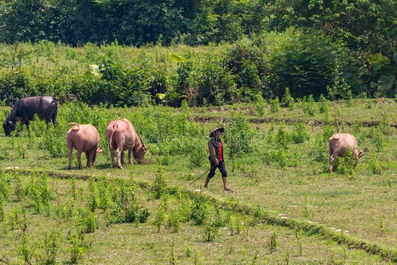 Cowherd door groen Laos wordt omringd dat royalty-vrije stock afbeelding