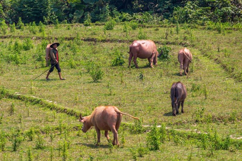 Cowherd in groen Laos stock afbeeldingen