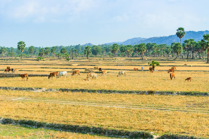 Download Cowherd On Harvested Field, Mekong Delta Stock Photo - Image: 33903734