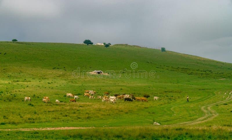 Cowherd op een berg in Transsylvanië, Roemenië royalty-vrije stock fotografie