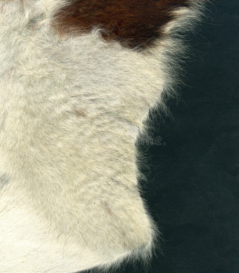 Cowhide. Image of cowhide on gray background royalty free stock image
