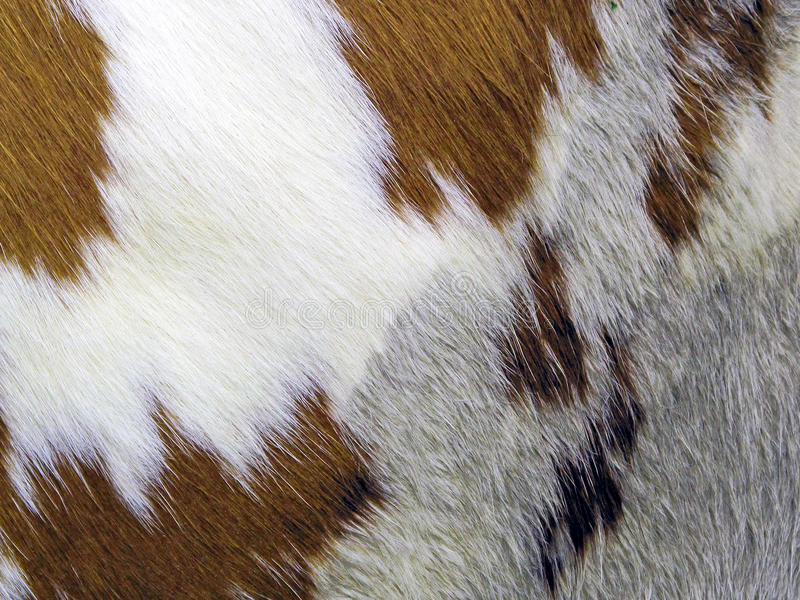 cowhide immagine stock